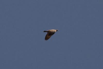 Spot-winged Pigeon at Huacarpay Lakes, Peru (2008-07-04)