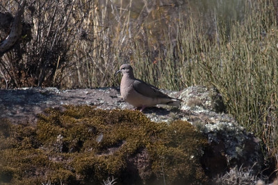 Eared Dove at Huacarpay Lakes, Peru (2008-07-04)