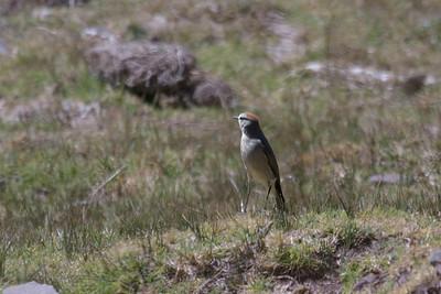 Rufous-naped Ground-Tyrant at Huacarpay Lakes, Peru (2008-07-04)