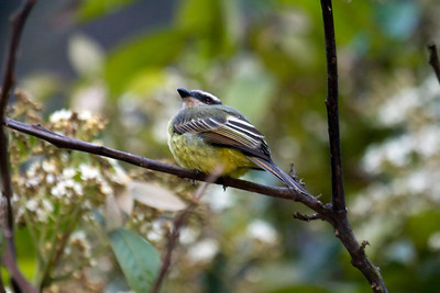 Golden-crowned Flycatcher (2) at Machu Picchu Pueblo Hotel, Aguas Calientes, Peru (2008-07-05)