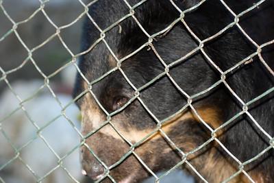 Spectacled Bear captive (2) at Machu Picchu Pueblo Hotel, Aguas Calientes, Peru (2008-07-05)