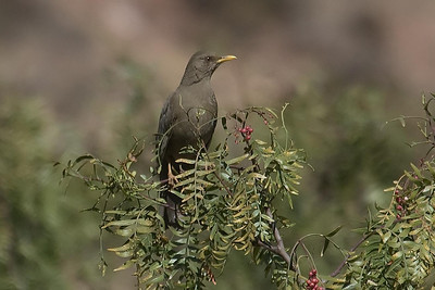 Chiguanco Thrush at Huacarpay Lakes, Peru (2008-07-04)