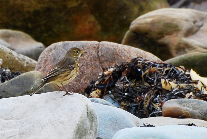 """American Pipit (Anthus rubescens).  Description:  6-7"""" (15-18 cm). A sparrow-sized, slender brown bird of open country. Crown and upperparts uniform brown; underparts buff with streaks; outer tail feathers white; legs usually black. Often bobs its tail and usually walks rather than hops.   Habitat: Arctic and alpine tundra.  Migration and winter:  beaches, barren fields, agricultural land, and golf courses. Range: Breeds from northern Alaska, Mackenzie, Canadian Arctic islands, and Newfoundland, south in mountains to California, New Mexico, and northern New Hampshire. Winters across southern states and north to British Columbia and southern New England.  Nesting 4 or 5 gray eggs, thickly spotted with brown and streaked with black, in a cup of grass and twigs built on the ground in the shelter of a rock or tussock.  Voice:   Flight song a weak and tinkling trill; call a paired, high-pitched pip-pip.  Discussion The American Pipit was formerly considered a form of the Water Pipit of the Old World. The absence of a breeding species of pipits in the open country of the eastern United States is due to the fact that until recently forests covered this area. In winter large flocks gather in open fields. When disturbed they rise in unison, wheel, turn, and resume their feeding. In the North the American Pipit feeds on the countless insects on the edges of tundra puddles, whereas in alpine meadows it visits unmelted snowbanks. Warm air rising from valleys below transports many insects to high altitudes where most of these die and are frozen in snowbanks providing food for the pipits. Source: <a href=""""http://www.enature.com/fieldguides/detail.asp?recnum=BD0301""""> eNature.com </a>.  Hartlen Point, Nova Scotia. 27 September 2009."""