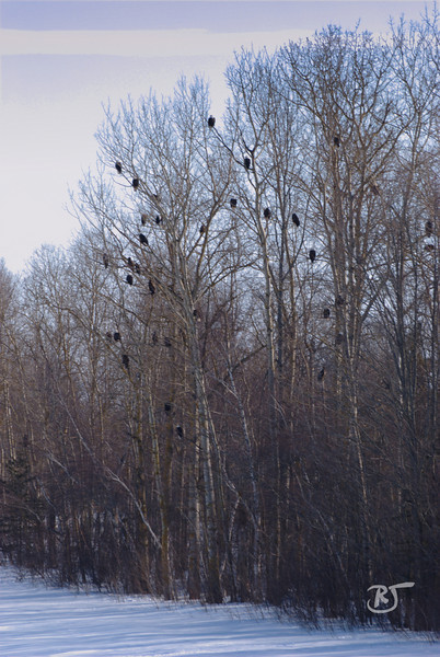 Eagles Roosting in Elm trees.<br /> (about 35)