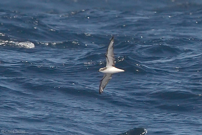 Cook's Petrel at deepwater pelagic off Santa Barbara, CA (05-01-2010) - 697-Edit