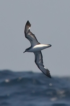 Cook's Petrel at deepwater pelagic off Santa Barbara, CA (05-01-2010) - 704-Edit