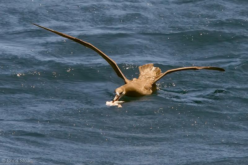 Black-footed Albatross at deepwater pelagic off Santa Barbara, CA (05-01-2010) - 731-Edit