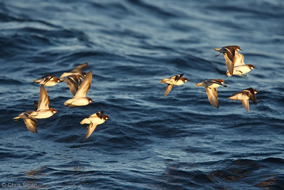 Red-necked Phalaropes at deepwater pelagic off Santa Barbara, CA (05-01-2010) - 782-Edit