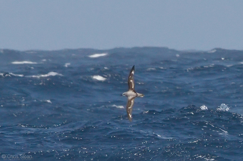 Cook's Petrel at deepwater pelagic off Santa Barbara, CA (05-01-2010) - 682-Edit