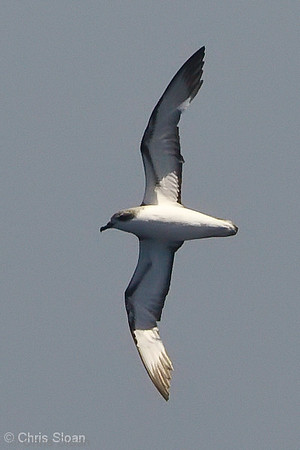 Cook's Petrel at deepwater pelagic off Santa Barbara, CA (05-01-2010) - 702-Edit