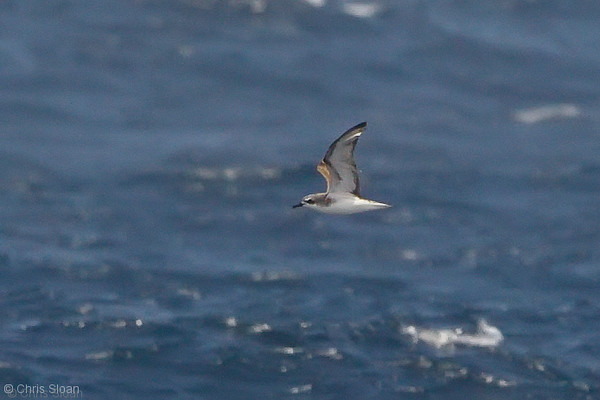 Cook's Petrel at deepwater pelagic off Santa Barbara, CA (05-01-2010) - 700-Edit