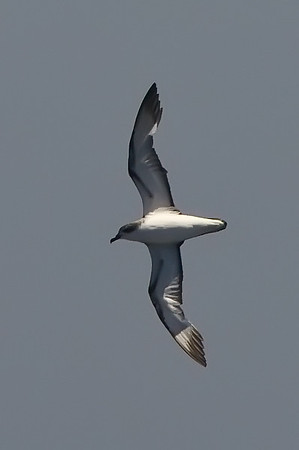Cook's Petrel at deepwater pelagic off Santa Barbara, CA (05-01-2010) - 703-Edit