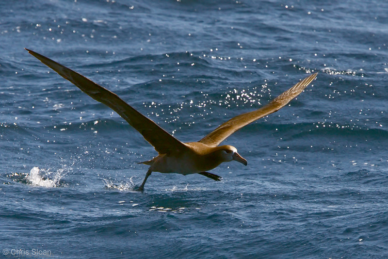 Black-footed Albatross at deepwater pelagic off Santa Barbara, CA (05-01-2010) - 726-Edit