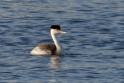 Clark's Grebe at Santa Barbara, CA (05-01-2010) - 2-Edit