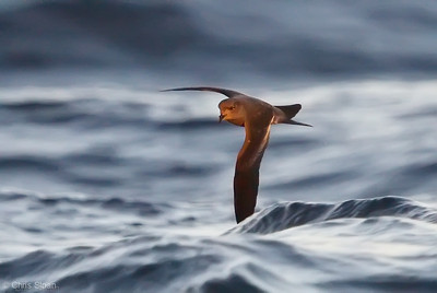 Ashy Storm-Petrel at deepwater pelagic off Santa Barbara, CA (05-01-2010) - 785-Edit