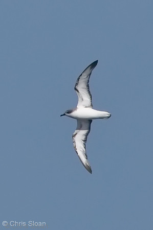 Cook's Petrel at deepwater pelagic off Santa Barbara, CA (05-01-2010) - 759-Edit