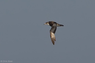 Pink-footed Shearwater at deepwater pelagic off Santa Barbara, CA (05-01-2010) - 745-Edit