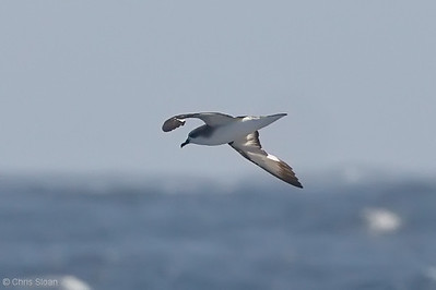 Cook's Petrel at deepwater pelagic off Santa Barbara, CA (05-01-2010) - 705-Edit