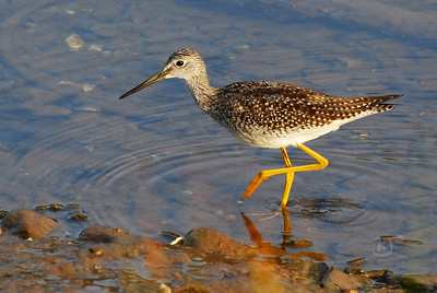 Lesser Yellowlegs vs Squid