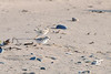 Two of the chicks @ about 2 weeks old.  They blend in almost seamlessly with the sand.