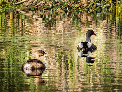 Pied- billed Grebe and Purple Gallinule