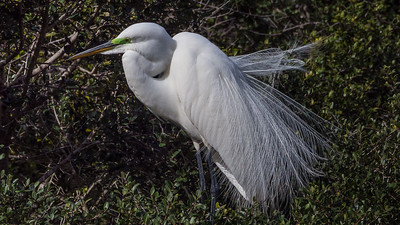 Giant Egret in mating mood