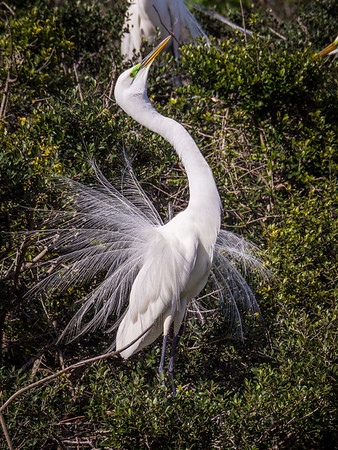 Giant Egret - mating ritual