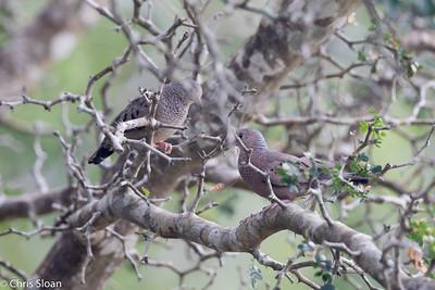 Common Ground-Dove at Resaca de la Palma State Park, Brownsville, TX (07-25-2015) 080-134