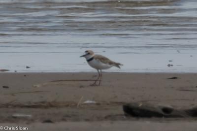Collared Plover at Hargill Playa, Hargill , TX (07-25-2015) 081-42
