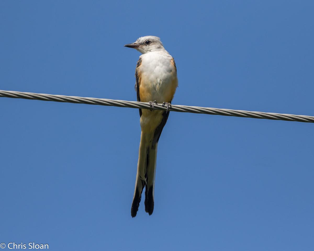 Scissor-tailed Flycatcher at Zapata Library, Zapata, TX (07-26-2015) 081-204-Edit
