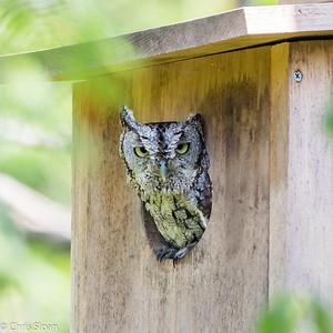 Eastern Screech-Owl at Resaca de la Palma State Park, Brownsville, TX (07-25-2015) 080-163