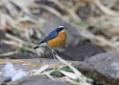 Indian Blue Robin at Jungle Hut, Masanagudi, Mudumulai, India (02-25-2015) 057-239