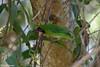 Golden-fronted Leafbird at Jungle Retreat, Masanagudi, Tamil Nadu, India (02-26-2015) 059-360