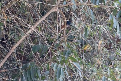 Asian Paradise-Flycatcher rufous male at Jungle Hut, Masanagudi, Mudumulai, India (02-25-2015) 057-383