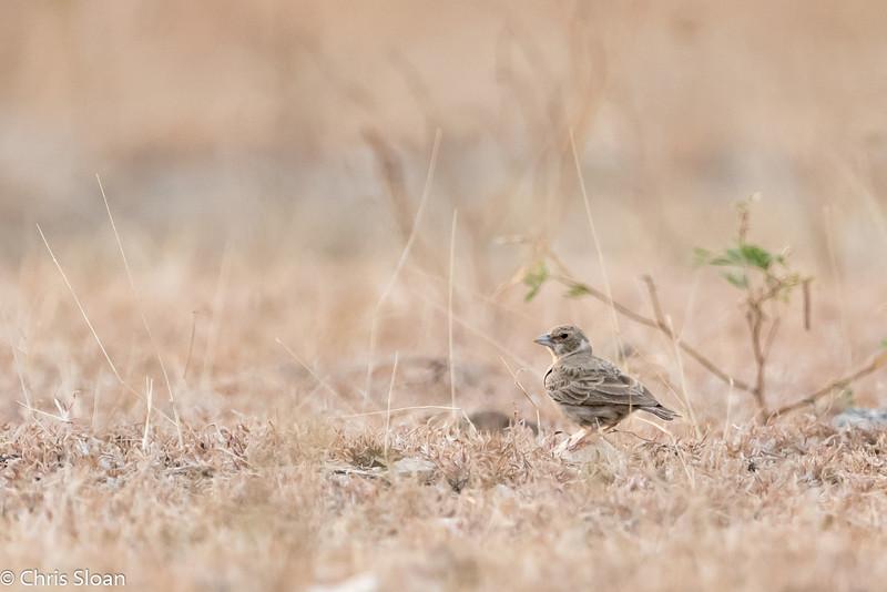 Ashy-crowned Sparrow-Lark female at Mavanalla, Tamil Nadu India (02-25-2015) 058-224