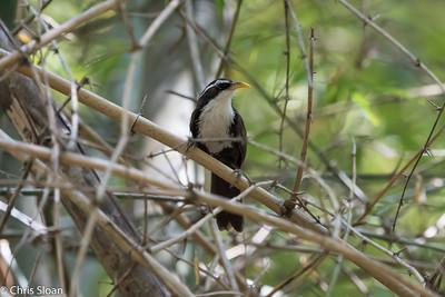 Indian Scimitar-Babbler rufous male at Jungle Hut, Masanagudi, Mudumulai, India (02-25-2015) 057-390