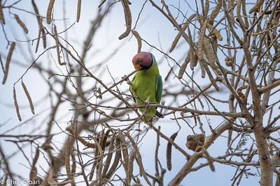 Plum-headed Parakeet male at Jungle Hut, Masanagudi, Mudumulai, India (02-25-2015) 058-7