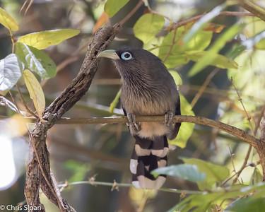 Blue-faced Malkoha at Jungle Hut, Masanagudi, Mudumulai, India (02-25-2015) 057-303