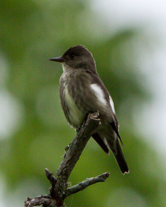 Olive-sided Flycatcher at Radnor Lake, Nashville, TN (05-11-2013)-3