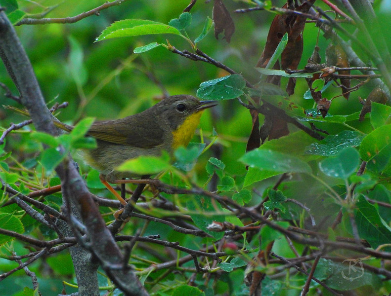"Common Yellowthroat (Geothlypis trichas)   Female.  A skulking masked warbler of wet thickets, the Common Yellowthroat is far more frequently heard than seen. Its ""wich-i-ty, wich-i-ty, wich-i-ty"" can be heard from the Yukon to Newfoundland, and from southern Florida to southern Mexico.   Adult Description      * Small songbird.     * Plain olive green back, wings, and tail.     * Yellow throat and upper chest.     * Male has distinctive black mask.  <u> Male Description:</u> Back, wings and tail plain olive. Chin, throat, and upper chest bright yellow. Belly whitish. Dusky flanks. Bright yellow undertail coverts. Broad black mask extending from side of neck through the auricular area and from the eye to the forehead. Whitish to grayish line above black mask separating it from the olive crown.  <u> Female Description: </u> Female similar to male, but face olive and underparts paler. Indistinct eyering. May occasionally have faint black mask.  <u> Immature Description:</u> Immature resembles adult female. First year male with faint black mask, becoming fully adult-like by spring.  Crystal Crescent Beach, Nova Scotia.  04 July 2008."
