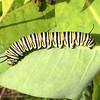 Plum Island: Stage Island Pool Overlook: Monarch caterpillar zoom