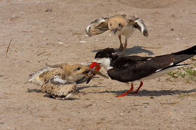 Black Skimmer Feeding Fish to One Chick While Other Chick Looks On