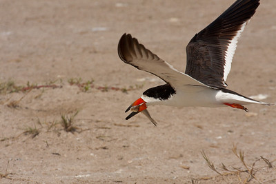 Black Skimmer Carrying Fish Back to Feed Chicks