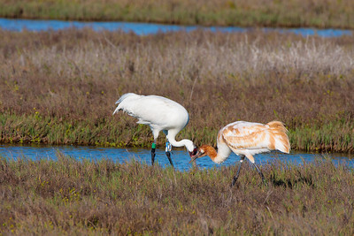Adult Whooping Crane Sharing Blue Crab with Juvenile
