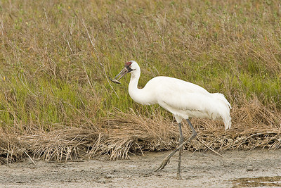 Whooping Crane with Blue Crab