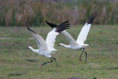 Pair of Adult Whooping Cranes Taking Flight