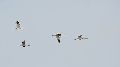 Four Whooping Cranes In Flight