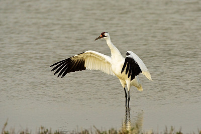 Whooping Crane Spreading Its Wings