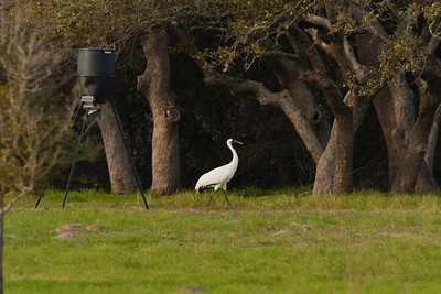 Whooping Crane by Deer Feeder (Waiting for Dinner)