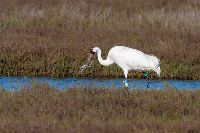 Adult Whooping Crane Snatches Blue Crab